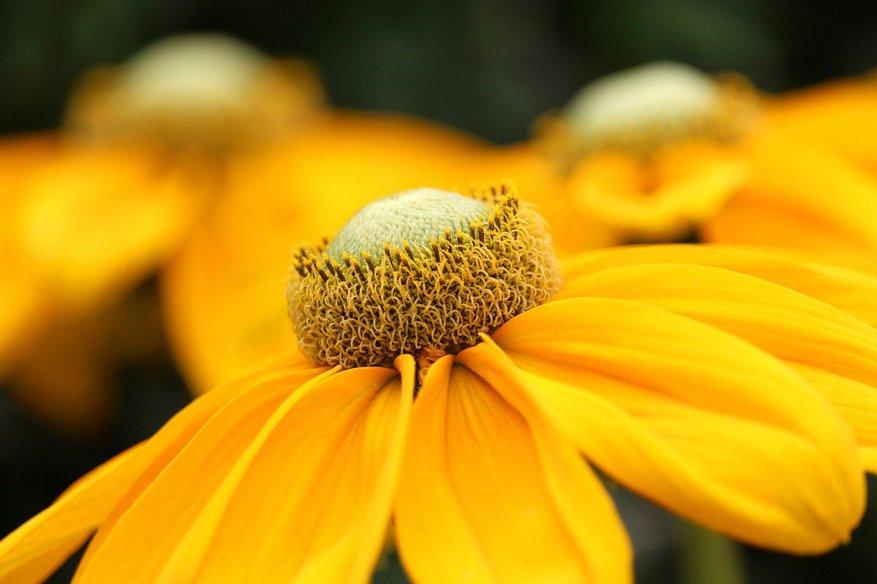 Ringelblume als Heilmittel in der Homöopathie